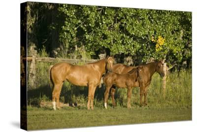 Three Quarter Horses Together in the Pasture-DLILLC-Stretched Canvas Print