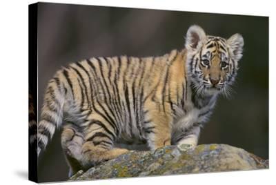 Bengal Tiger Cub on Rocks-DLILLC-Stretched Canvas Print