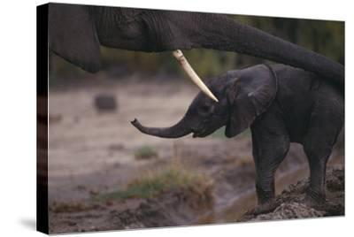 Mother Elephant Encouraging Baby-DLILLC-Stretched Canvas Print