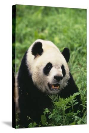 Panda in Grass-DLILLC-Stretched Canvas Print