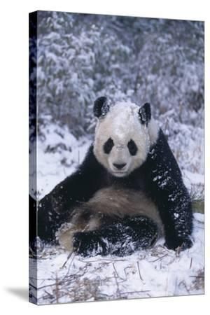 Giant Panda Sitting in Snow-DLILLC-Stretched Canvas Print