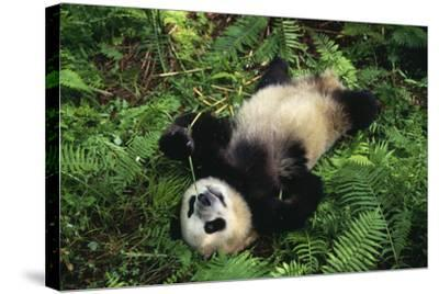Giant Panda Cub Rolling on Forest Floor-DLILLC-Stretched Canvas Print