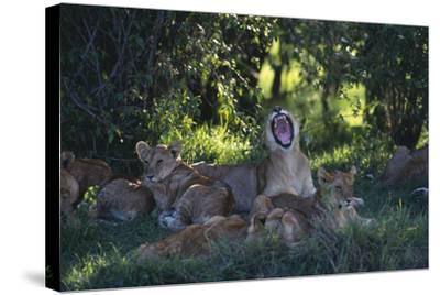 Lion Cubs Dozing under Trees-DLILLC-Stretched Canvas Print