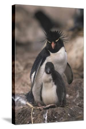 Rockhopper Penguin with Chick-DLILLC-Stretched Canvas Print