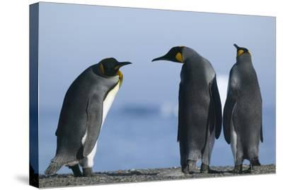 King Penguins on Rocky Beach-DLILLC-Stretched Canvas Print