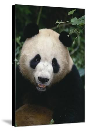 Giant Panda-DLILLC-Stretched Canvas Print
