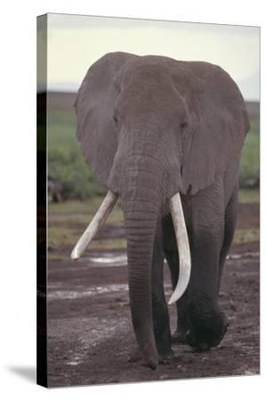 Elephant with Long Tusks-DLILLC-Stretched Canvas Print