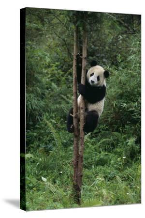 Panda Climbing Tree-DLILLC-Stretched Canvas Print