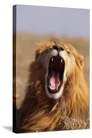 Lion Yawning-DLILLC-Stretched Canvas Print