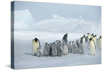 Emperor Penguins on Ice-DLILLC-Stretched Canvas Print