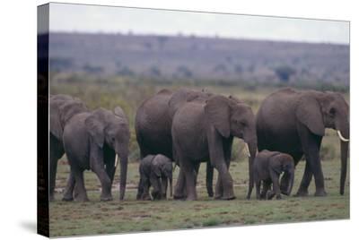 Elephants-DLILLC-Stretched Canvas Print
