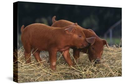 Duroc Piglets-DLILLC-Stretched Canvas Print