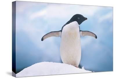 Adelie Penguin with Wings Outstretched-DLILLC-Stretched Canvas Print