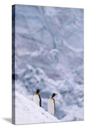 King Penguins Climbing Snow Hill-DLILLC-Stretched Canvas Print