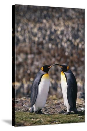 King Penguins Touching Beaks-DLILLC-Stretched Canvas Print