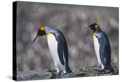 King Penguins Walking on Rocks-DLILLC-Stretched Canvas Print