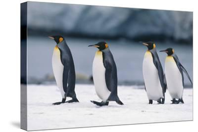 King Penguins Taking a Walk-DLILLC-Stretched Canvas Print