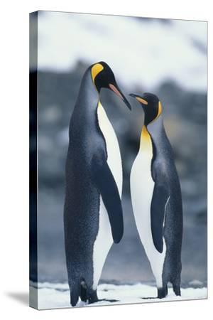 King Penguins Standing Belly to Belly-DLILLC-Stretched Canvas Print