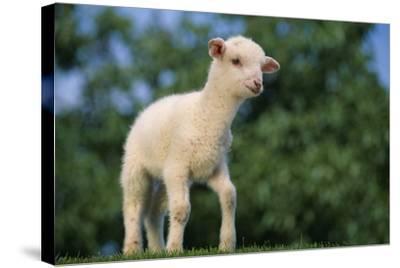 Lamb in Grass-DLILLC-Stretched Canvas Print