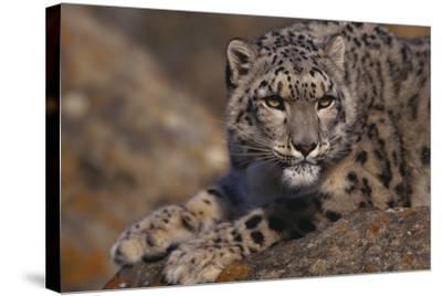 Snow Leopard on Rock-DLILLC-Stretched Canvas Print