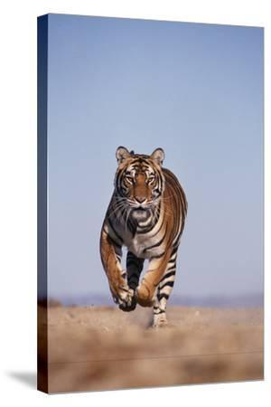 Bengal Tiger Running on Beach-DLILLC-Stretched Canvas Print
