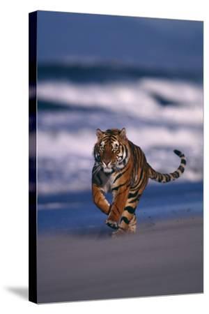 Bengal Tiger Running on Beach-DLILLC-Stretched Canvas Print