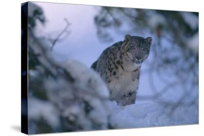 Snow Leopard in Snow-DLILLC-Stretched Canvas Print