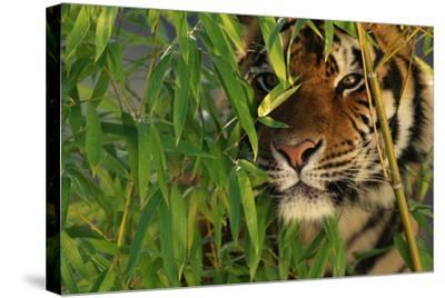 Tiger Sitting among Bamboo Leaves-DLILLC-Stretched Canvas Print
