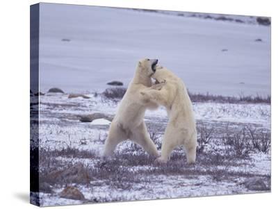 Polar Bears Fighting-DLILLC-Stretched Canvas Print