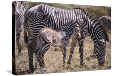 Baby Zebra and Mother-DLILLC-Stretched Canvas Print