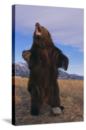 Roaring Grizzly Bear-DLILLC-Stretched Canvas Print