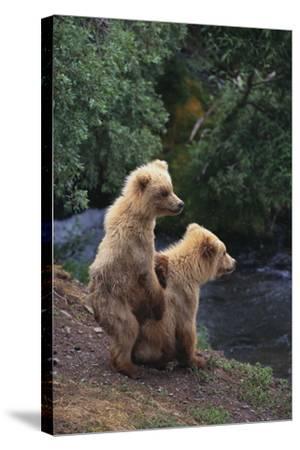 Brown Bear Cubs-DLILLC-Stretched Canvas Print