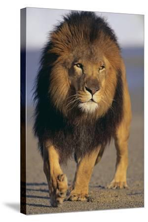 Lion Walking on Sand-DLILLC-Stretched Canvas Print