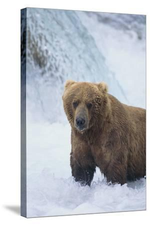 Brown Bear Standing in River-DLILLC-Stretched Canvas Print