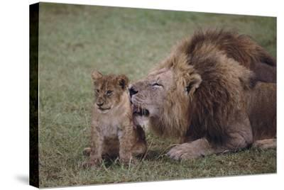 Adult Lion Cleaning Cub-DLILLC-Stretched Canvas Print