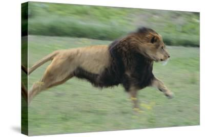 Lion Running in Grass-DLILLC-Stretched Canvas Print