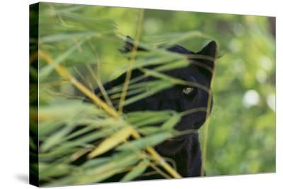 Black Leopard behind Leaves-DLILLC-Stretched Canvas Print