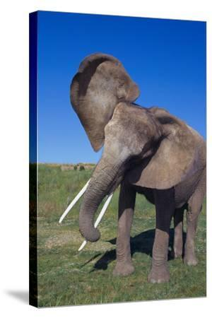 African Elephant Wagging Ears-DLILLC-Stretched Canvas Print