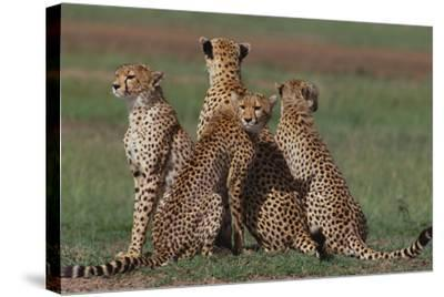 Cheetahs in Grass-DLILLC-Stretched Canvas Print