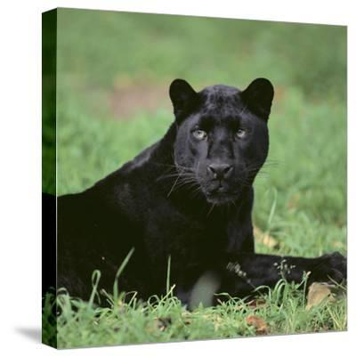 Black Panther Sitting in Grass-DLILLC-Stretched Canvas Print