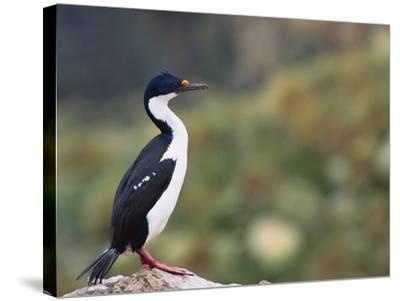 Imperial Shag on Rock-DLILLC-Stretched Canvas Print