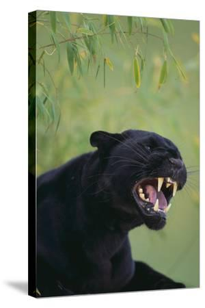 Black Leopard Snarling-DLILLC-Stretched Canvas Print