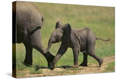 African Elephant Calf following Mother-DLILLC-Stretched Canvas Print