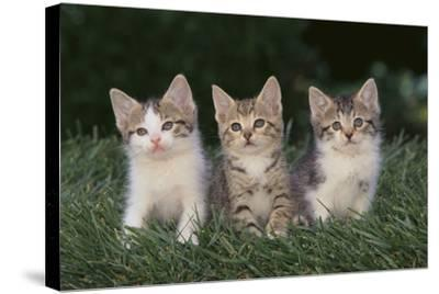 Three Kittens-DLILLC-Stretched Canvas Print