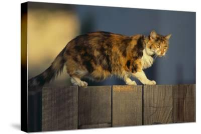 Calico Cat Walking on Fence-DLILLC-Stretched Canvas Print