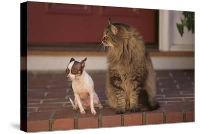 Nervous Chihuahua Sitting beside a Cat-DLILLC-Stretched Canvas Print