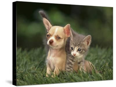 Chihuahua Puppy and Kitten-DLILLC-Stretched Canvas Print
