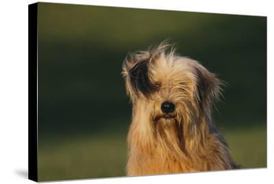 Mongrel Dog-DLILLC-Stretched Canvas Print