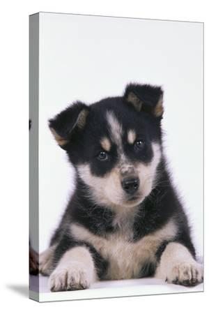 Husky Puppy-DLILLC-Stretched Canvas Print