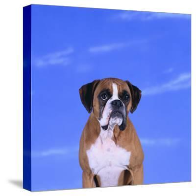 Boxer-DLILLC-Stretched Canvas Print